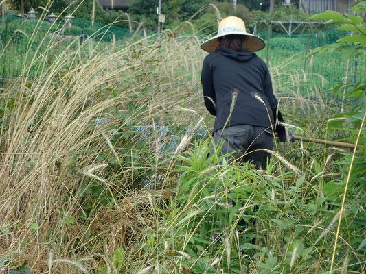 ライ麦の刈り取り。大鎌が楽です。