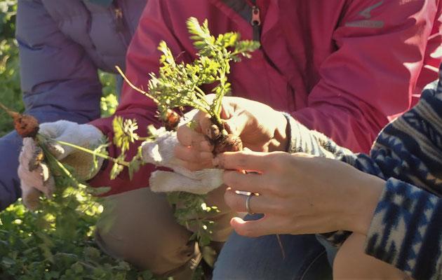 固定種のミニキャロット。ふつうのニンジンと違って小さいうちから太るのが特徴。