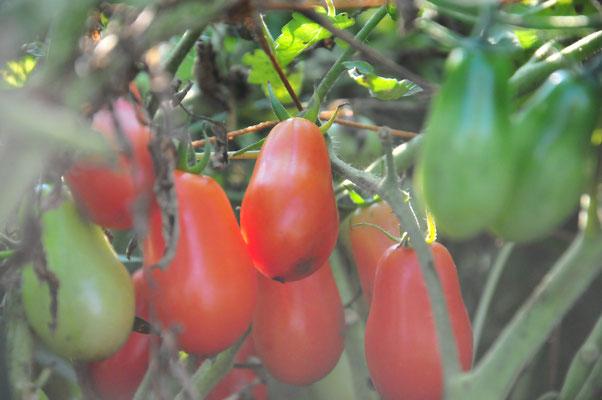 無肥料栽培のトマト。サン・マルツァーノは静かに素直に育っています。