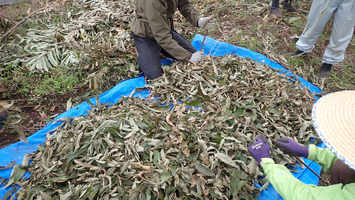 別の畑で伐採した栗の葉をむしる作業。落ち葉を集めるほうが楽ですが、まあこんな時もあります。