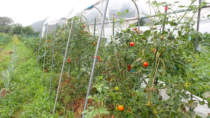 固定種のミニトマト。はじめは暴れ気味でしたが、穏やかになってきました。