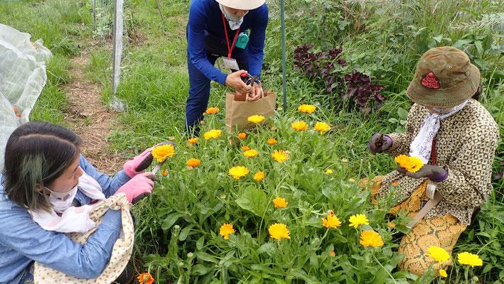 カレンデュラの収穫。花びらをオイルに浸透させるたものは皮膚の修復を助けてくれます。