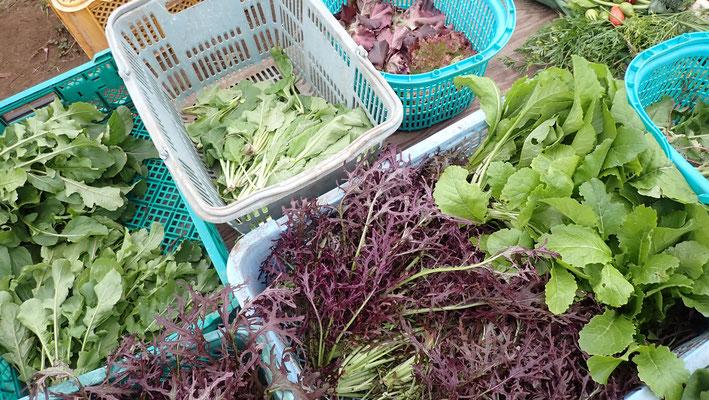 水菜はこぼれ種のもの。