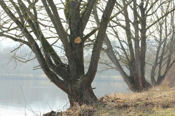 Knorriges am Wißmarer See