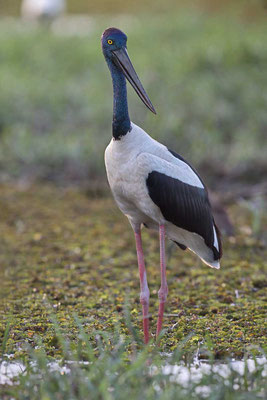 Riesenstorch  (Ephippiorhynchus asiaticus) - 3