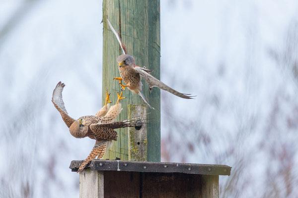 Männlicher Turmfalke (Falco tinnunculus) - 7