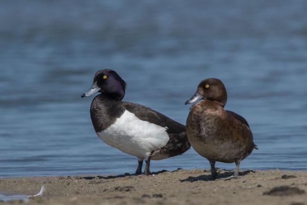 Reiherente,  Aythya fuligula, Tufted Duck - 8