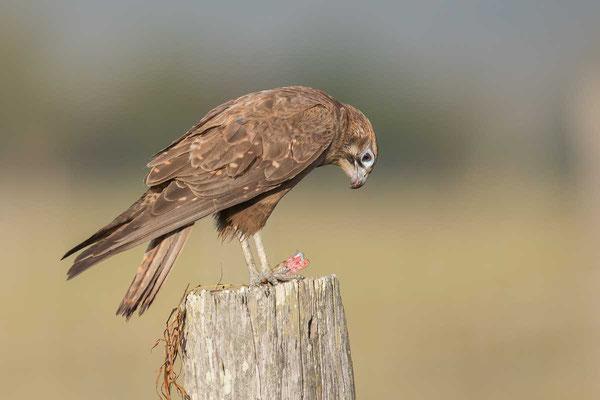 Habichtfalke, Brown falcon, Falco berigora - 4