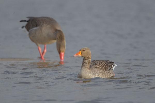 Graugans, Anser anser, Greylag goose - 6
