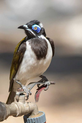 Blauohr-Honigfresser, Blue-faced Honeyeater, Entomyzon cyanotis - 1