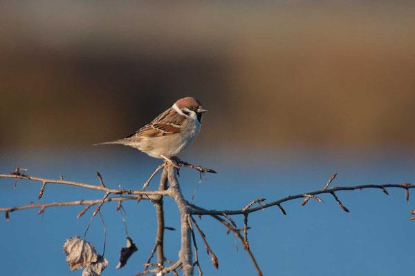 Feldsperling (Passer montanus) - Tree Sparrow - 8