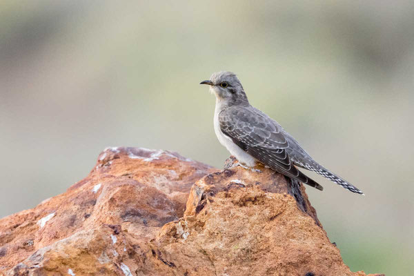 Blasskuckuck, Pallid cuckoo, Cuculus pallidus - 3