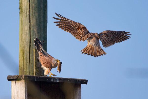 Männlicher Turmfalke (Falco tinnunculus) - 4