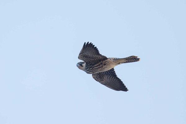 Eleonorenfalke (Falco eleonorae) - Eleonora's falcon - 6