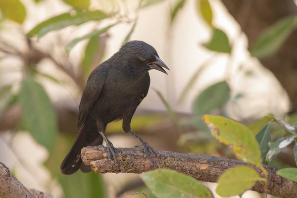 Chopistärling (Gnorimopsar chopi) - Chopi Blackbird - 2