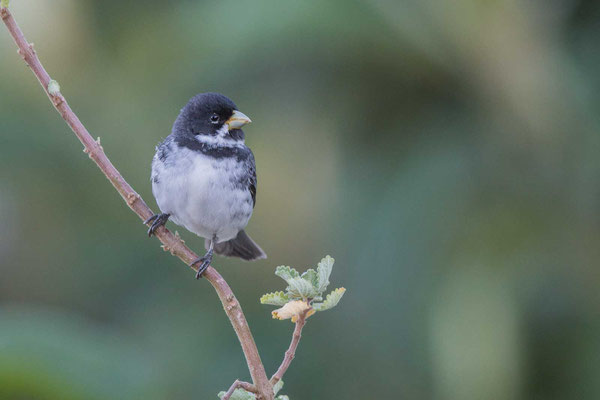 Schmuckpfäffchen (Sporophila caerulescens) - Double-collared Seedeater - 1