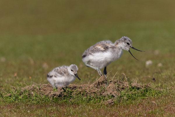 Säbelschnäbler (Recurvirostra avosetta)-cc-1
