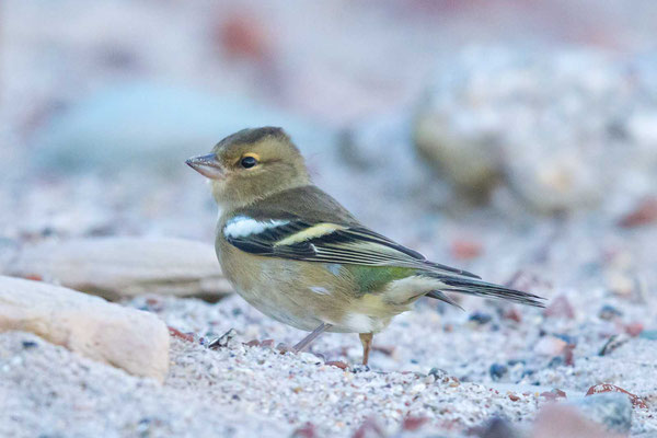 Buchfink (Fringilla coelebs) - Common chaffinch - 5
