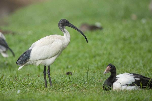 Molukkenibis (Threskiornis molucca) - Australian white ibis - 1