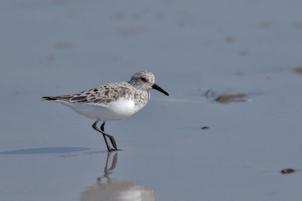 Sanderling (Calidris alba) - 7
