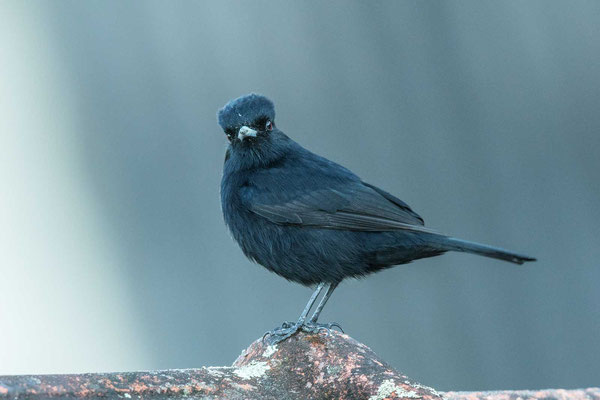 Kurzschopf-Dunkeltyrann (Knipolegus nigerrimus); Velvety Black-tyrant - 1