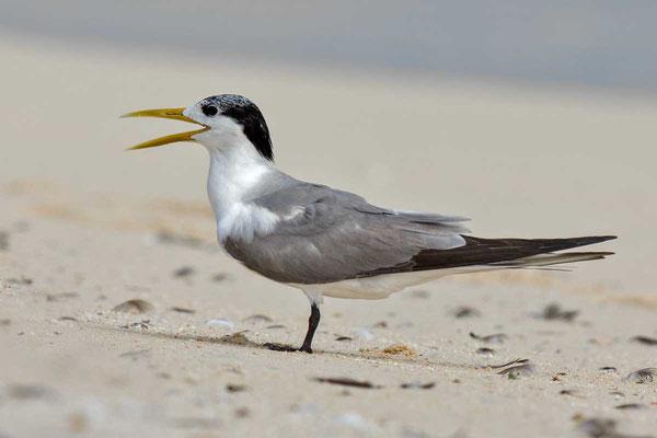 Eilseeschwalbe (Thalasseus bergii) - Greater crested tern - 10
