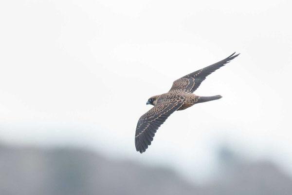 Eleonorenfalke (Falco eleonorae) - Eleonora's falcon - 8