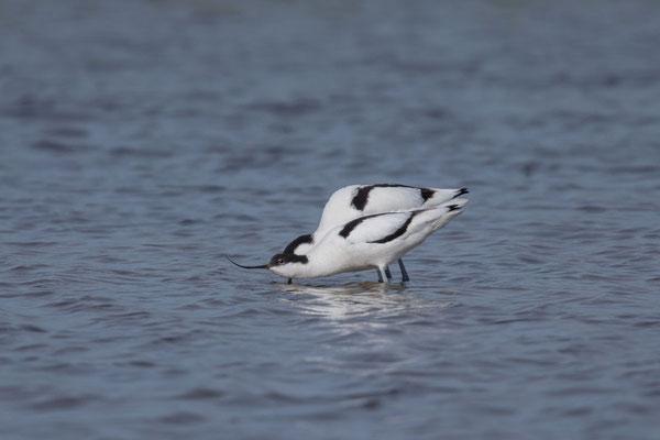 Säbelschnäbler (Recurvirostra avosetta) - 7