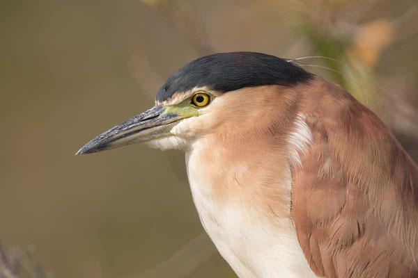 Rotrückenreiher (Nycticorax caledonicus) - Nankeen night heron - 6