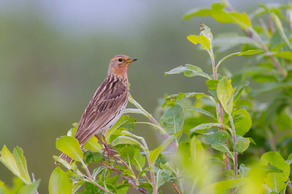 Rotkehlpieper (Anthus cervinus) - Red-throated Pipit - 3
