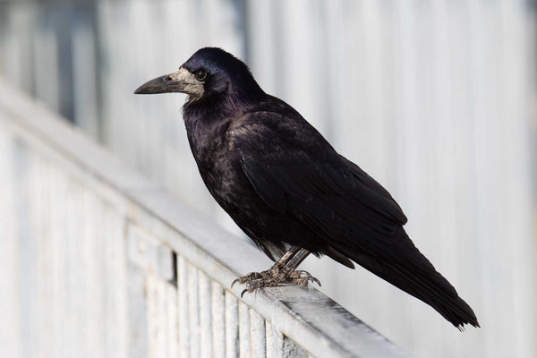 Saatkrähe (Corvus frugilegus) - 2