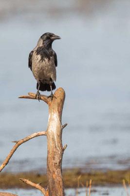 Nebelkrähe (Corvus corone) - 2