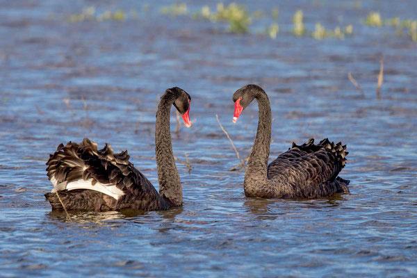 Trauerschwan (Cygnus atratus) - Black swan - 2