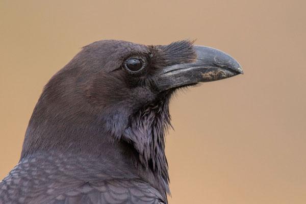 Ostkanaren-Kolkrabe (Corvus corax jordansi) im Parque Rural de Betancuria.