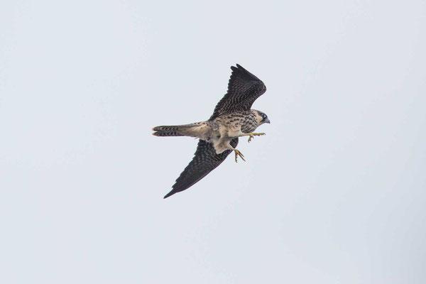 Eleonorenfalke (Falco eleonorae) - Eleonora's falcon - 9