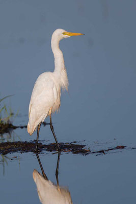 Mittelreiher (Ardea intermedia) - Intermediate egret - 5