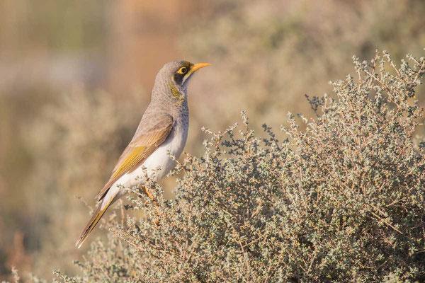 Gelbstirn-Schwatzvogel, Yellow-throated Miner, Manorina flavigula - 2