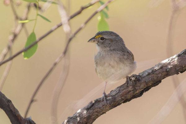 Wachtelammer (Ammodramus humeralis) - Grassland sparrow - 1