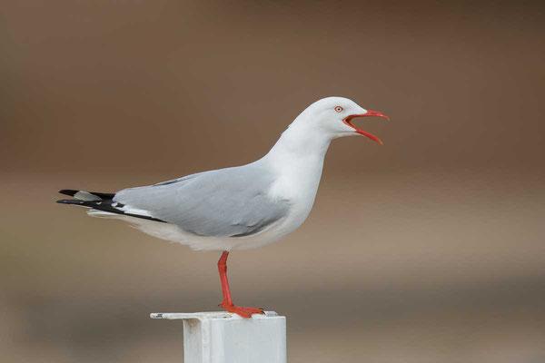 Silberkopfmöwe (Chroicocephalus novaehollandiae) - Silver gull - 8