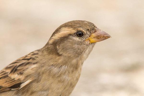 Haussperling (Passer domesticus) – House sparrow - 4
