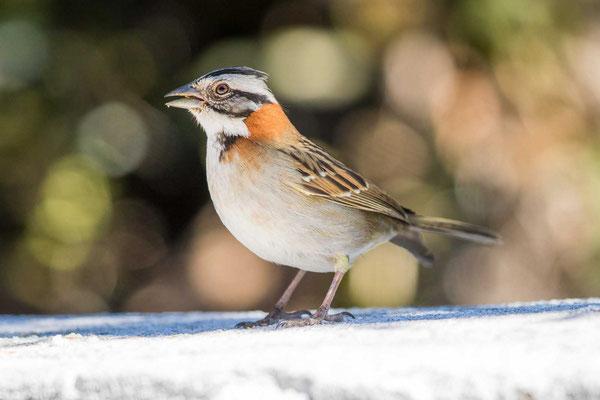 Morgenammer (Zonotrichia capensis) - Rufous-collared sparrow - 4