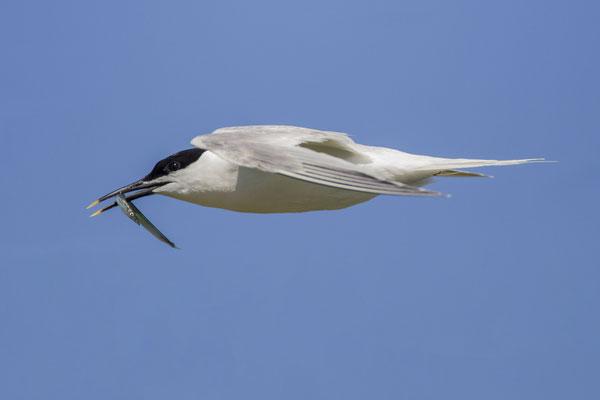 Brandseeschwalbe (Thalasseus sandvicensis) - Sandwich Tern - 6