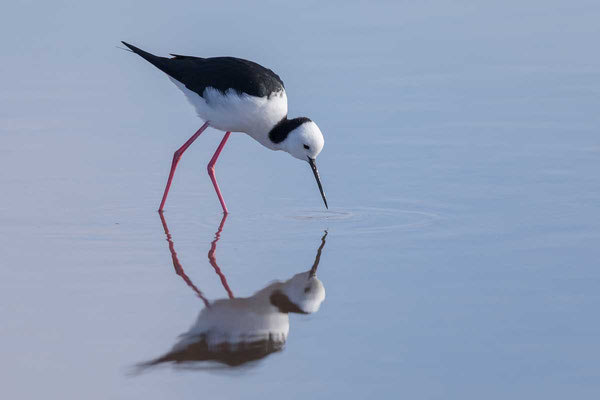 Weißgesicht-Stelzenläufer (White-headed stilt)-cc-2