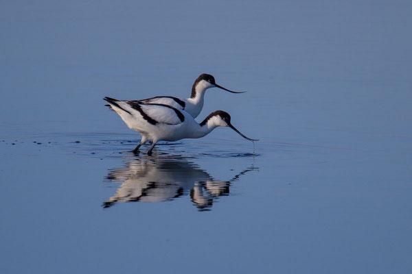 Säbelschnäbler (Recurvirostra avosetta) - 3