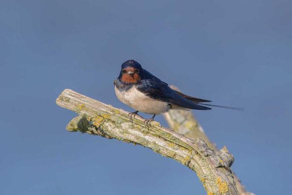 Rauchschwalbe, Hirundo rustica, Barn Swallow - 2