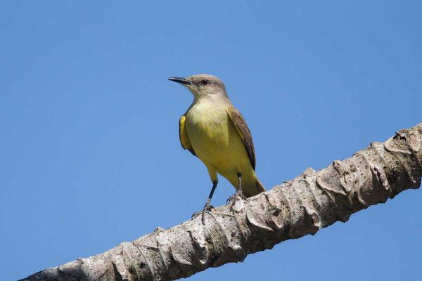 Trauerkönigstyrann (Tyrannus melancholicus); Tropical Kingbird -1