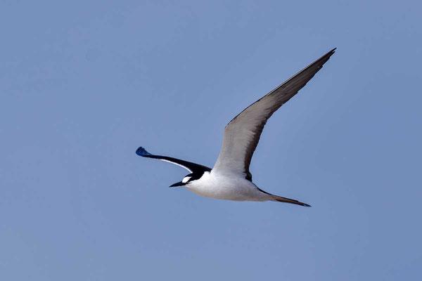 Rußseeschwalbe (Onychoprion fuscatus) - Sooty tern - 4