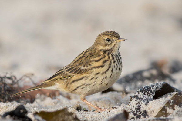 Wiesenpieper (Anthus pratensis) - Meadow Pipit - 6