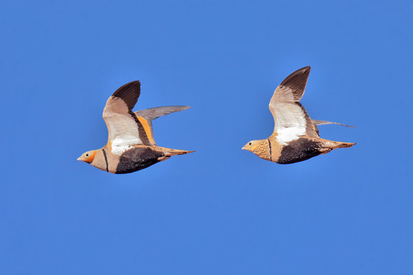 Sandflughuhn (Pterocles orientalis) auf der Insel Fuerteventura.