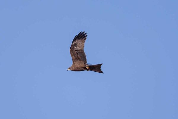 Schwarzmilan,  Black kite, Milvus migrans - 4